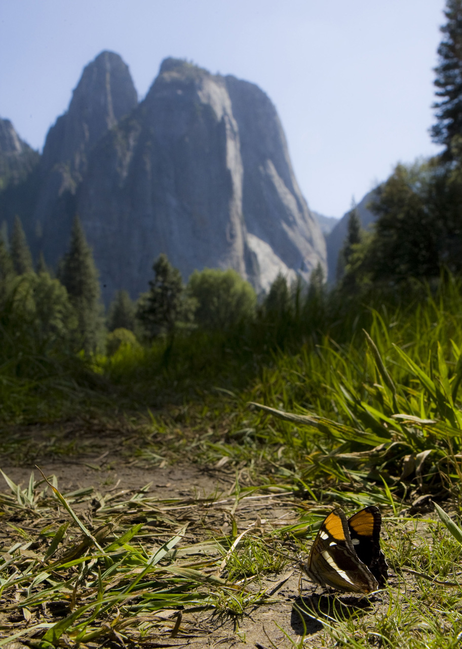 Butterfly in Yosemite Valley, Yosemite National Park, Calif.
